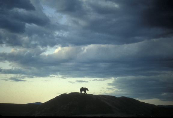The silhouette of a bear can be seen from afar; the bruin is wandering a ridge in the light of a dying sun.